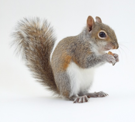 Can Squirrels Eat Cat Food